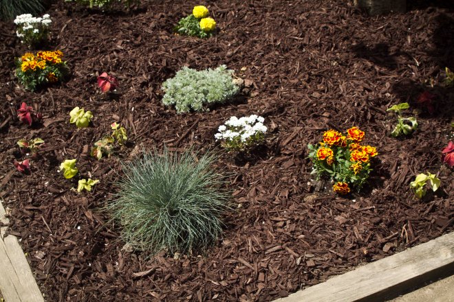 Blue Fescue, Marigolds, Silvermound Artemesia, Candytuft, Coleus