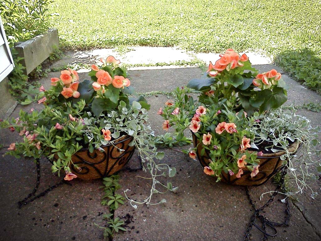 Spring planting potted herbs and hanging baskets the vegan kat we filled the hanging baskets with calibrachoa callies peach dichondra silver falls and amstel begonias dark britt mightylinksfo